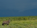 Oryx - Central Kalahari