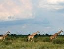 Giraffen - Central Kalahari