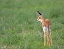 Junger Springbock - Central Kalahari