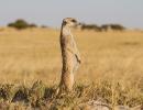 Erdmännchen - Ntwetwe Pan, Botswana