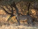 Gepard - Nxai Pan