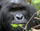 Gorillatrekking in Virunga 1
