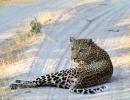 Leopard - Moremi (Okavangodelta)