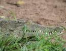 Krokodil - Chobe River