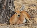 Steenbok - Nxai Pan Nationalpark