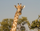 Giraffe - Moremi (Okavangodelta)