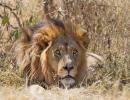Löwe - Moremi (Okavangodelta)