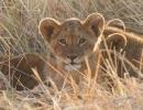 Löwenjunges - Moremi (Okavangodelta)