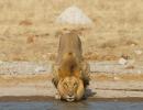 Löwe - Nxai Pan Nationalpark