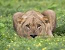 Leo in der Blumenwiese - Chobe Nationalpark