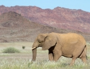 Wüstenelefant - Huab River, Damaraland