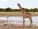 Giraffe - Etosha NP