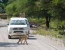 Gepard vorm Onguma Camp - Etosha