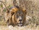Löwenrudel Khwai 1, Moremi, Botswana
