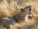 Löwenrudel Khwai 2, Moremi, Botswana