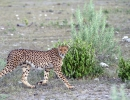 Gepard - Etosha NP