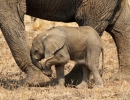Blindes Elefantenbaby - South Luangwa, Sambia