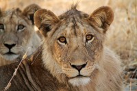 Loewenrudel, Ruaha Nationalpark