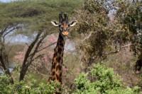 Giraffe Ikuu Katavi
