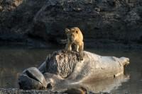 Lion cub dead hippo Katavi
