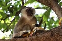 Vervet monkey, South Luangwa