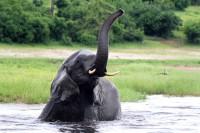 Elephant Chobe River
