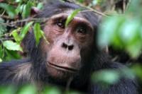 Chimpanzee, Kyambura, Uganda