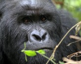 Gorillatrekking in Virunga