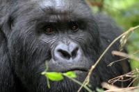 Berggorilla Virunga