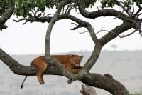 Tree climbing lioness, Serengeti