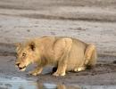 Löwe - Central Kalahari