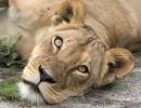 Löwin - Central Kalahari