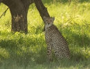 Gepard - Deception Valley, Central Kalahari