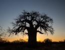 Baobab - Gweta
