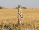 Erdmännchen - Ntwete Pan, Botswana