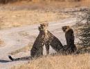 Geparden - Nxai Pan