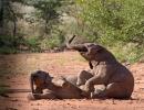 Wüstenelefanten - Huab River, Damaraland