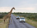 Animals have the right of way - Etosha NP