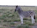 Zebra - Etosha NP