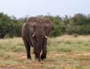 Elefant - Etosha NP