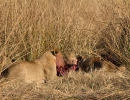 Löwenrudel Khwai 4, Moremi, Botswana