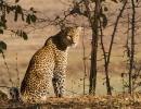 Leopard - Nsefu, South Luangwa
