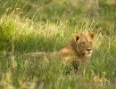 Löwen - Deception Valley, Central Kalahari