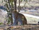Leopard - South Luangwa