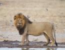 Löwenmännchen, Nxai Pan