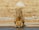Löwe, Nxai Pan