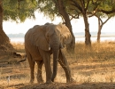 Elefant in Trichilia - Mana Pools, Simbabwe
