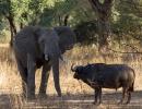 Riesen unter sich - Mana Pools, Simbabwe
