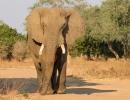 Elefantös - Mana Pools, Simbabwe