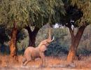 Elefanten lieben Anabäume - Mana Pools, Simbabwe